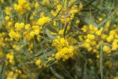 Mimosa amarelo de florescência das flores. Fotos de Stock