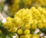 Mimosa amarilla en la floración Fotografía de archivo