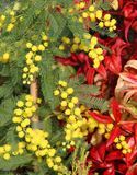 Mimosa with the background of Red leaves 2 Royalty Free Stock Photo