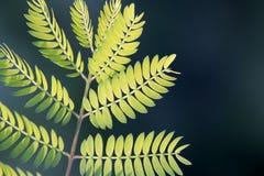 Mimosa Royalty Free Stock Photography