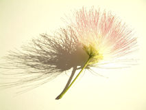 Mimosa bloom. Strong shadow on paper with visible texture Stock Images
