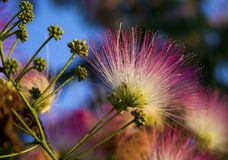 Mimosa Bloom. Bright pink mimosa blooms and buds with a small spider in the bloom with bright blue sky background Stock Photos