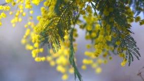 Mimosa Tree Video