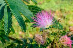 Mimosa blossom royalty free stock photo