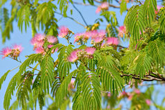 Mimosa Blossoms Stock Photo