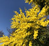 Mimosa and blue sky royalty free stock photos