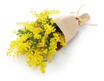 Mimosa bouquet. Isolated on white background royalty free stock photo