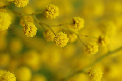 Mimosa branch Stock Photography