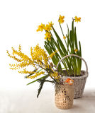 Mimosa branch bank and yellow daffodils in a white basket. On a white background Stock Photo
