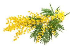 Mimosa branch Royalty Free Stock Photos