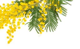 Mimosa branch close up Royalty Free Stock Photo