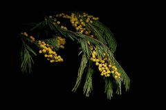 Mimosa branch on a dark background Stock Image