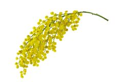 Mimosa branch isolated. Royalty Free Stock Photography