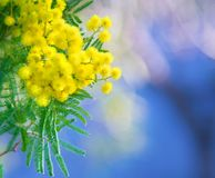 Mimosa branch in the spring. Yellow branch of a mimosa in blue air of a spring garden Royalty Free Stock Photography