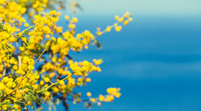 Mimosa branch with yellow flowers Stock Photo