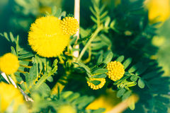 Mimosa branch with yellow flowers Royalty Free Stock Photo