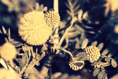 Mimosa branch with yellow flowers Royalty Free Stock Images