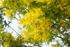 Mimosa branches with yellow flowers close up Stock Image