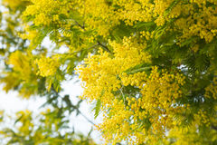 Mimosa branches with yellow flowers close up Royalty Free Stock Photos