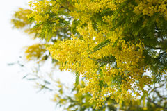 Mimosa branches with yellow flowers close up Stock Photo