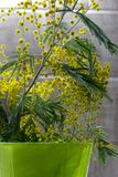 Mimosa brunch with flowersand green leaves in green vase. Yellow flowers in green flower pot. Blossom concept. Bright blooming plant. Spring nature Royalty Free Stock Photography