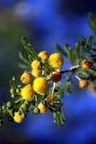 Mimosa bush Royalty Free Stock Photo