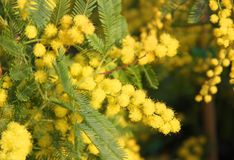 Mimosa Bush to give all women during international women's day Royalty Free Stock Image