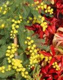 Mimosa con i precedenti delle foglie 2 di rosso Fotografia Stock Libera da Diritti