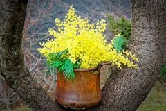 Mimosa in a copper pot on a branch Royalty Free Stock Photo
