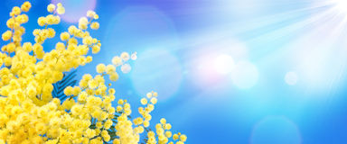 Mimosa dans le ciel bleu images libres de droits