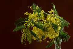 Mimosa on dark background Royalty Free Stock Photography