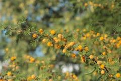 Mimosa de florescência Fotos de Stock