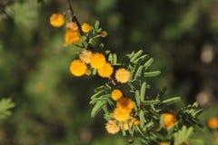 Mimosa de florescência Fotografia de Stock Royalty Free