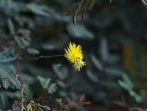 Mimosa del agua u oleracea de Neptunia Fotografía de archivo libre de regalías