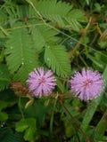 Mimosa den generade dottern Royaltyfria Bilder