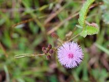 Mimosa di rosa selvaggio Fotografia Stock Libera da Diritti
