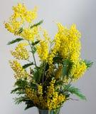 Mimosa dichte omhooggaand Royalty-vrije Stock Foto's