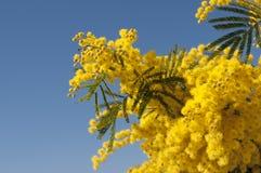 Mimosa en el cielo Imagen de archivo
