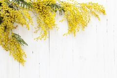 Mimosa en el fondo de madera blanco Foto de archivo
