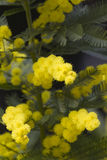 Mimosa en fleur Photo stock