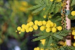 Mimosa en símbolo de la floración del día internacional del ` s de las mujeres Foto de archivo