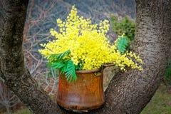 Mimosa en un pote de cobre en una rama Foto de archivo libre de regalías