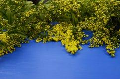 mimosa Espacio para el texto Foto de archivo libre de regalías