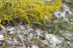 Mimosa fanée la première neige image libre de droits