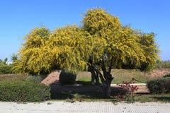 Mimosa fleurissante de buisson photo stock