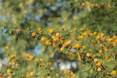 Mimosa floreciente fotos de archivo