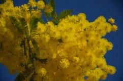 Mimosa floreciente en cielo azul Fotografía de archivo