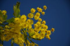 Mimosa floreciente en cielo azul Foto de archivo libre de regalías