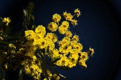 Mimosa floreciente en cielo azul; clipart Imágenes de archivo libres de regalías