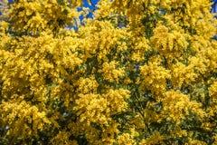 Mimosa floreciente en un cielo azul Imágenes de archivo libres de regalías